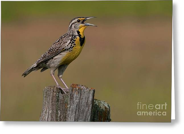 Festblues Greeting Cards - Western Meadowlark.. Greeting Card by Nina Stavlund