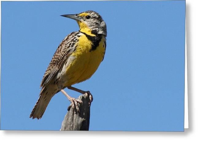 Western Meadowlark Perching Greeting Card by Bob and Jan Shriner