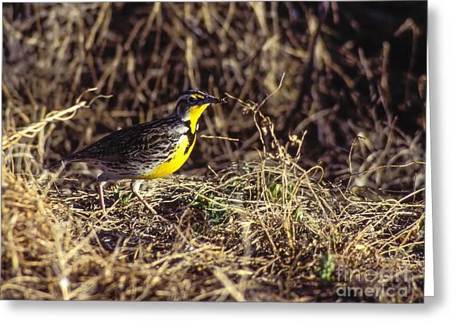 Steven Ralser Greeting Cards - Western Meadowlark Greeting Card by Steven Ralser