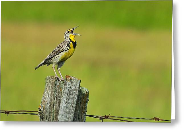 Western Meadowlark Greeting Card by Tony Beck