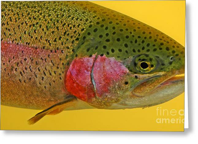 Rainbow Trout Greeting Cards - Western Oregon Rainbow Trout Greeting Card by Nick  Boren