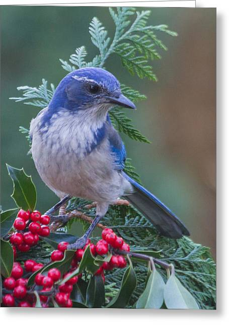 Blue And Green Greeting Cards - Western Scrub Jay 2 Greeting Card by Angie Vogel