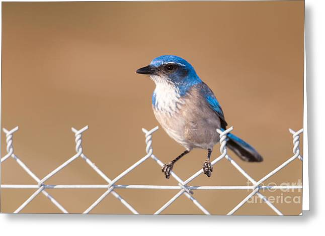 Confined Greeting Cards - Western Scrub-Jay I Greeting Card by Clarence Holmes