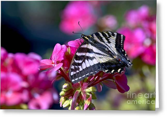 Tiger Swallowtail Greeting Cards - Western Tiger Swallowtail Butterfly on Geranium Greeting Card by Sharon  Talson