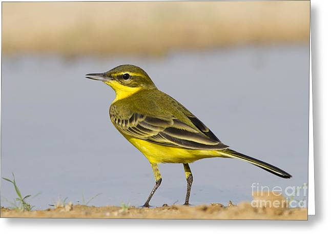 Differential Focus Greeting Cards - Western Yellow Wagtail Motacilla flava Greeting Card by Eyal Bartov
