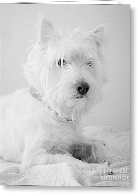 West Highland Greeting Cards - Westie Dog in Black and White Greeting Card by Edward Fielding