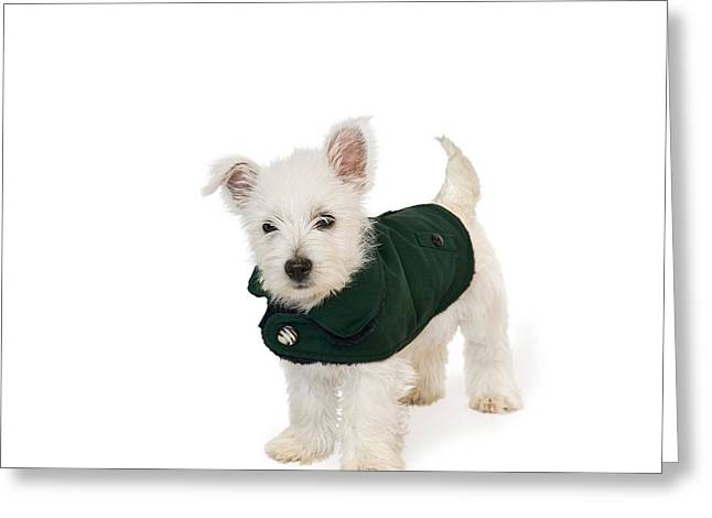 Westie Puppy In A Coat Greeting Card by Natalie Kinnear