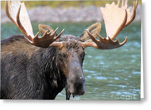 Moose In Water Greeting Cards - Wet And Hungry Greeting Card by Adam Jewell