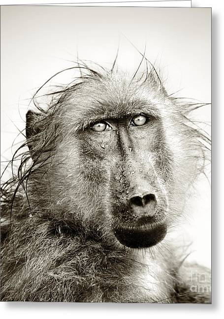 Monochrome Greeting Cards - Wet Baboon portrait Greeting Card by Johan Swanepoel
