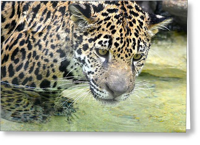 Jaguars Greeting Cards - Wet Baby Jaguar Greeting Card by Richard Bryce and Family