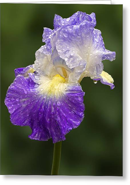 Water Drops Greeting Cards - Wet Bearded Iris Greeting Card by Susan Candelario