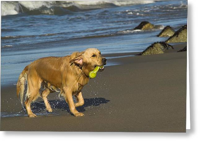 Toy Dog Greeting Cards - Wet Golden on the Beach Greeting Card by Moelyn Photos