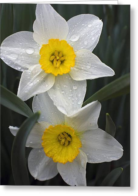 Indiana Flowers Greeting Cards - Wet Lillys Greeting Card by Michael Huddleston