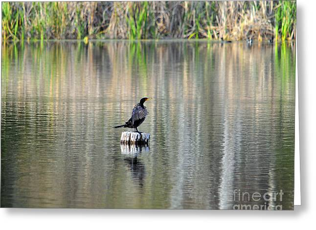 Double-crested Cormorant Greeting Cards - Wet Wings Greeting Card by Al Powell Photography USA