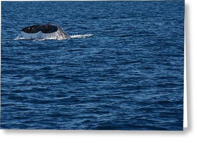 Ocean Mammals Greeting Cards - Whale Near Dana Point Greeting Card by Roxanne Janson