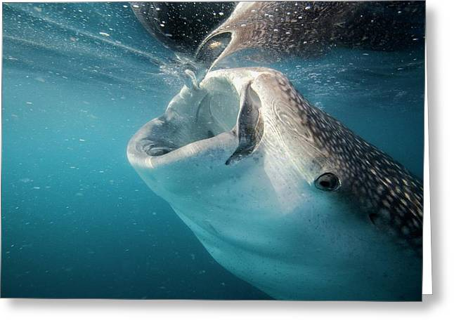 Whale Shark Feeding Greeting Card by Christopher Swann