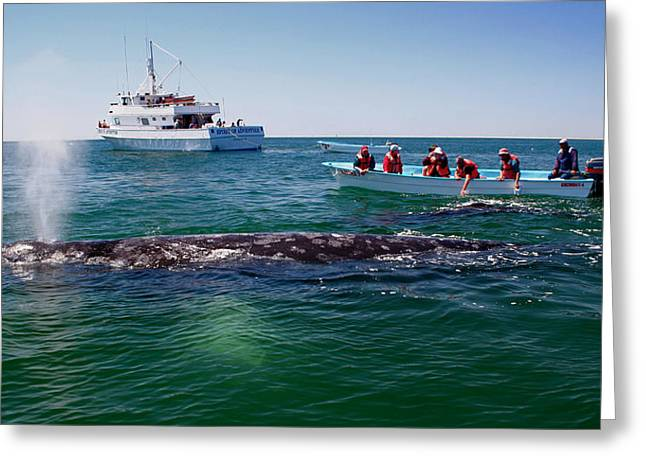 Guerrero Negro Greeting Cards - Whale Watch Greeting Card by Doug Gould
