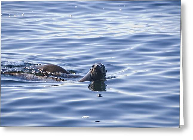 California Sea Lions Greeting Cards - Whale Watching Charters Found A California Sea Lion On The Hunt Greeting Card by Scott Lenhart