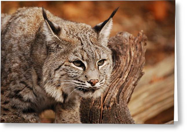 Best Sellers -  - Bobcats Photographs Greeting Cards - What A Face Greeting Card by Lori Tambakis