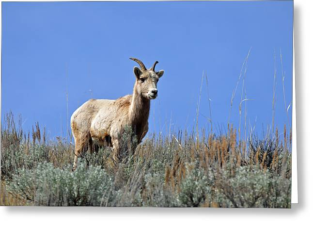 Grand Canyon Of The Yellowstone Greeting Cards - What are Ewe You Looking At? Greeting Card by Bruce Gourley
