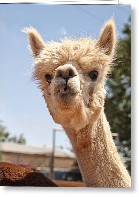 Alpaca Greeting Cards - What Are YOU Lookin At Greeting Card by Melany Sarafis