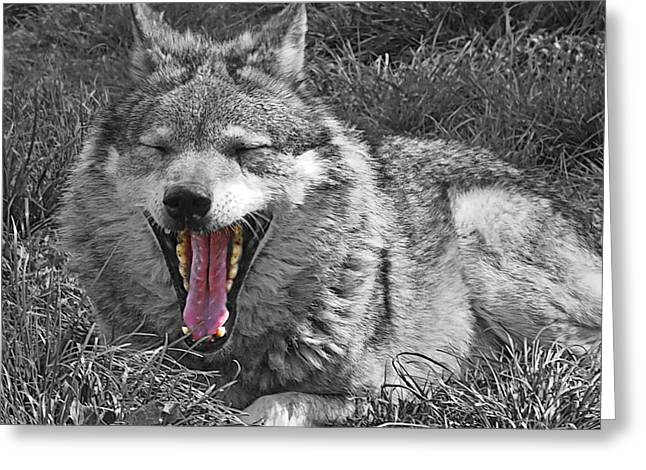 Pack Animal Greeting Cards - What Big Jaws You Have Mr. Wolf Greeting Card by Gill Billington
