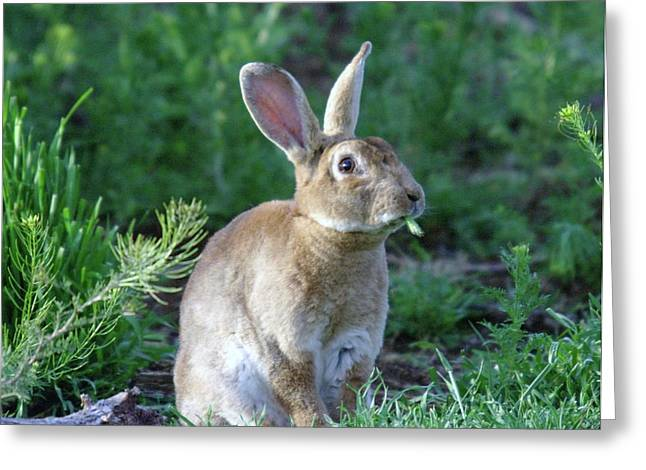 Jack Rabbit Greeting Cards - What Do You Mean I Have To Lay An Egg  Greeting Card by Jeff  Swan