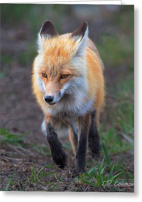 Courson Greeting Cards - What Does The Fox Say? Greeting Card by CR  Courson