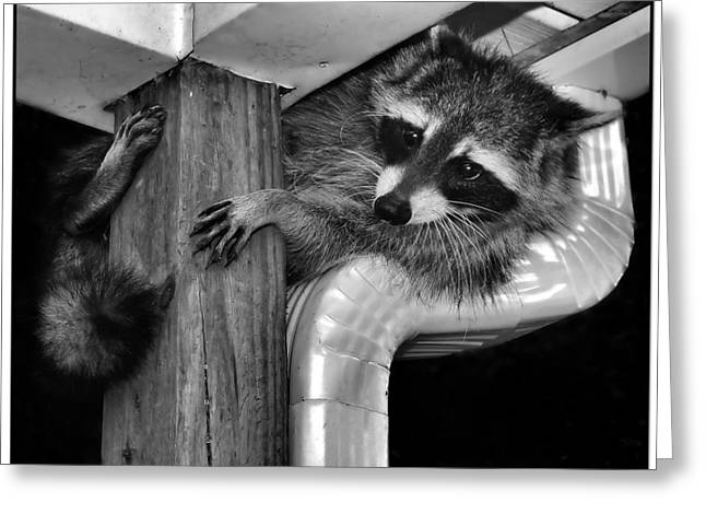 Nocturnal Animal Print Greeting Cards - What is that dog barking again  oh what a raccoon has to put up with Greeting Card by Constance Lowery