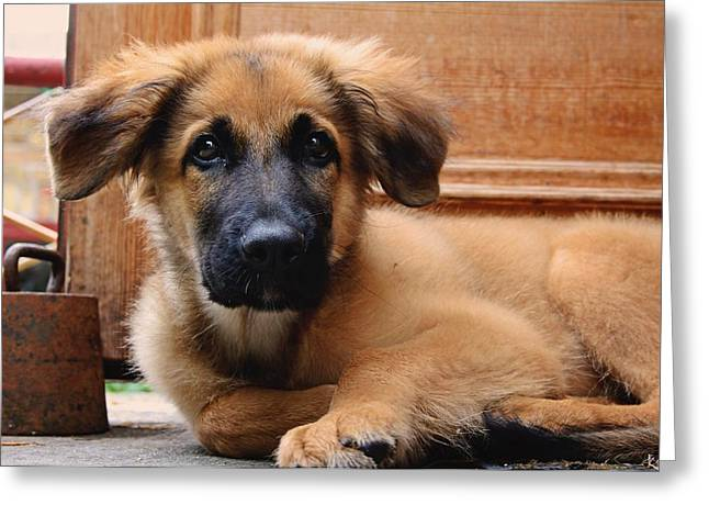 Leonberger Greeting Cards - What?  Greeting Card by Max Josefsson