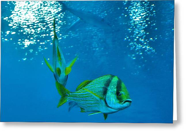 Aquarium Fish Greeting Cards - What You Lookin At Greeting Card by Dan Sproul