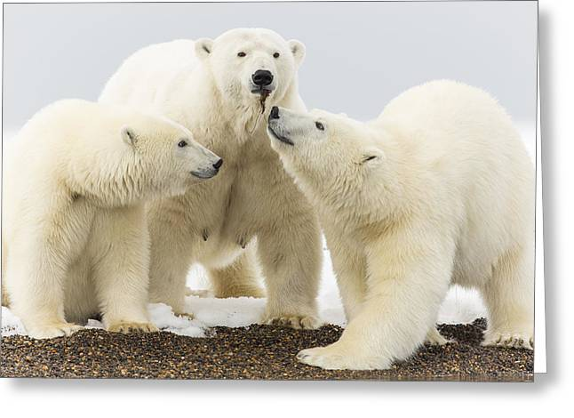 Polar Bear Standing Greeting Cards - Whats Mom Got Greeting Card by Tim Grams