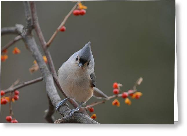 Tufted Titmouse Greeting Cards - Whats New? Greeting Card by Deborah Bifulco