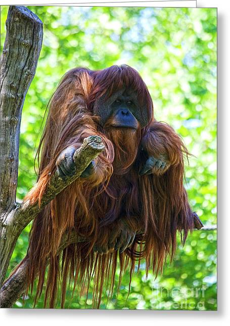 Orang-utans Greeting Cards - Whats up Greeting Card by Heiko Koehrer-Wagner