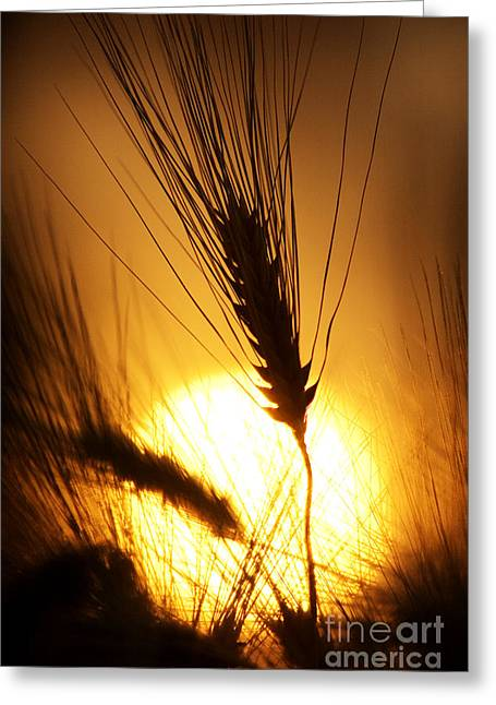 Early Morning Sun Greeting Cards - Wheat at Sunset Silhouette Greeting Card by Tim Gainey
