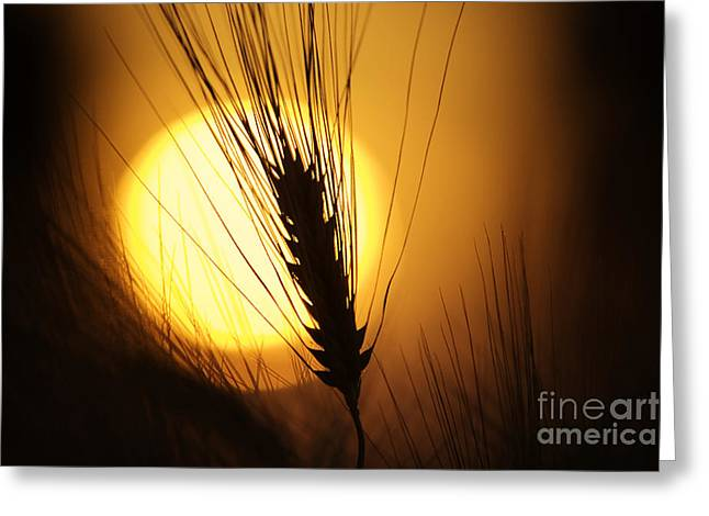 Sunset Abstract Photographs Greeting Cards - Wheat at Sunset  Greeting Card by Tim Gainey