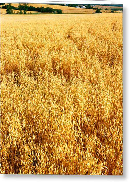 Willamette Greeting Cards - Wheat Crop In A Field, Willamette Greeting Card by Panoramic Images