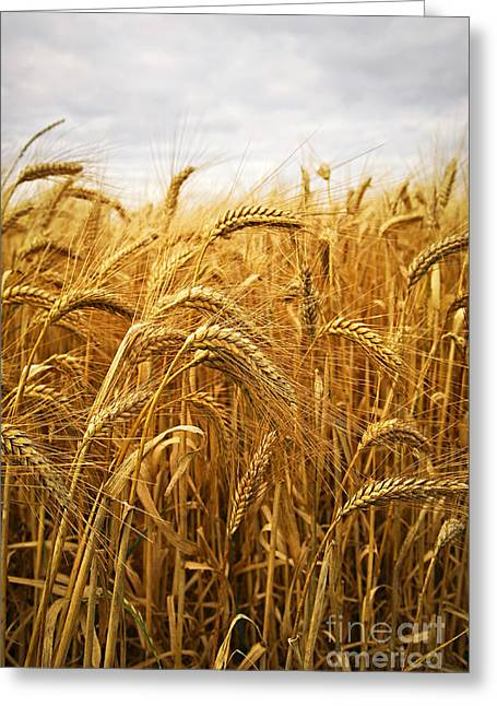 Harvesting Greeting Cards - Wheat Greeting Card by Elena Elisseeva
