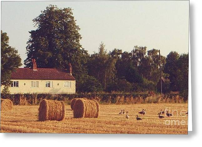 Hay Bales Greeting Cards - Wheat field and Geese at Harvest Greeting Card by John Clark