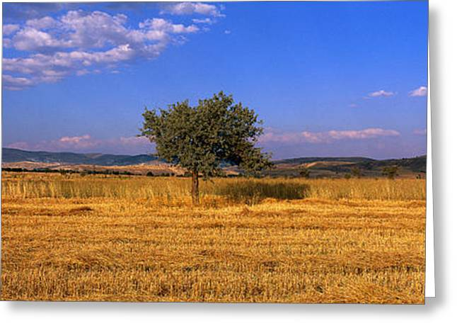 Single Tree Greeting Cards - Wheat Field Central Anatolia Turkey Greeting Card by Panoramic Images