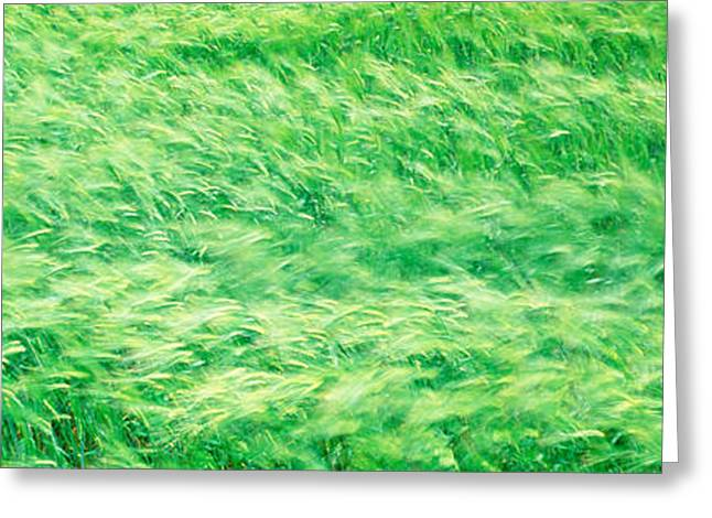 Wheat Field Prince Edward Island Canada Greeting Card by Panoramic Images