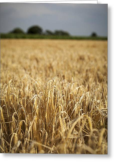 Wheat Field Greeting Cards - Wheat Field Greeting Card by Samuel Whitton