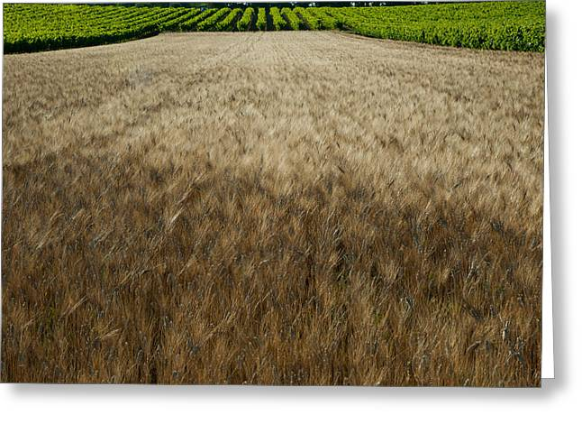 Vineyard Landscape Greeting Cards - Wheat Field Surrounded By Vineyards Greeting Card by Panoramic Images
