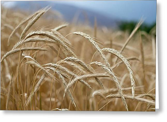 Wheat Fields In Yunnan Province In China Greeting Card by Tony Camacho