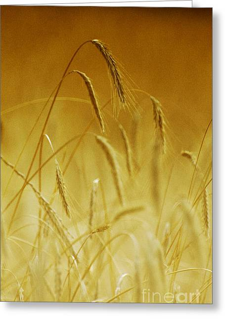 Naturaleza Greeting Cards - Wheat Floral Print Greeting Card by Anahi DeCanio