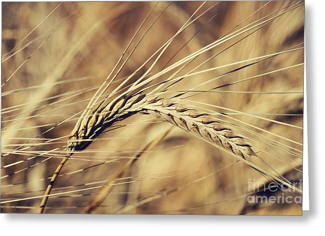 Corn Seeds Greeting Cards - Wheat Greeting Card by Jelena Jovanovic