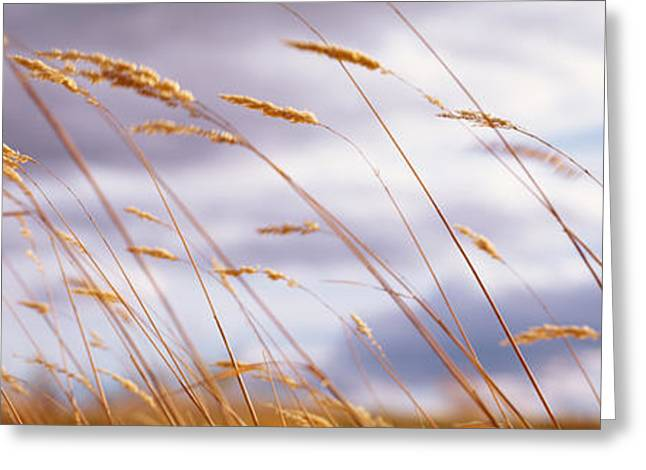 Overcast Day Greeting Cards - Wheat Stalks Blowing, Crops, Field Greeting Card by Panoramic Images