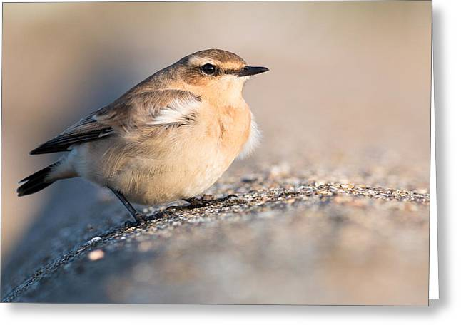 Small Birds Greeting Cards - Wheatear Greeting Card by Ian Hufton