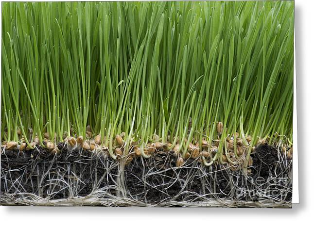 Health Food Greeting Cards - Wheatgrass Greeting Card by Tim Gainey
