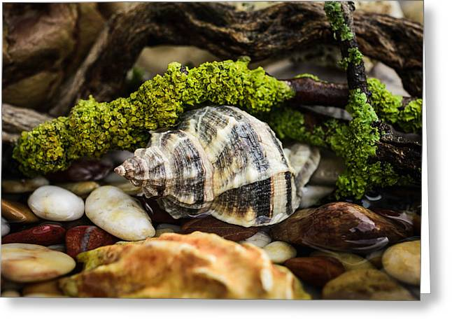 Whelk IIi Greeting Card by Marco Oliveira